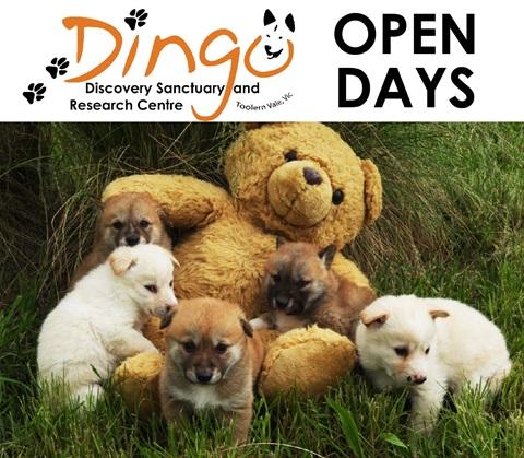 Dingo puppy encounter